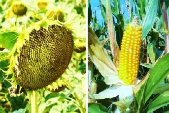 Slnečnica a kukurica